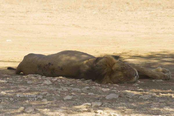 ein Löwe bei dem, was er am besten kann... schlafen