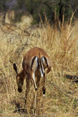 Pilanesberg Nationalpark Impala