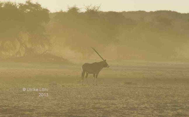 Oryx im Staub