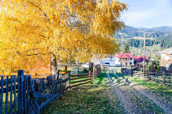 Береза - яскрава прикраса нашого двору восени
