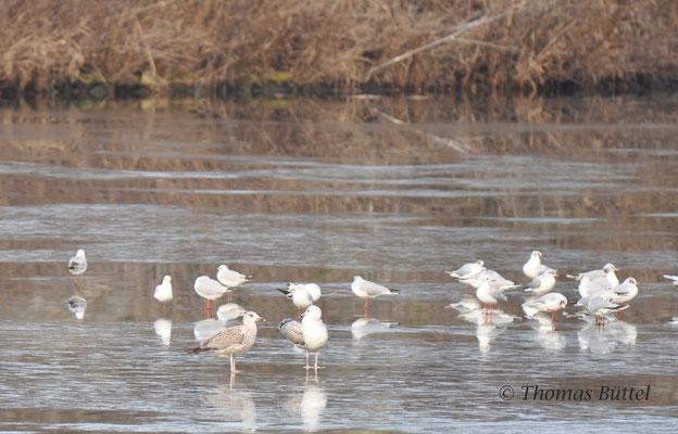 Presumed 1st winter Herring Gull (left), presumed 1st winter Caspian Gull (right) and lots of Black-headed Gulls