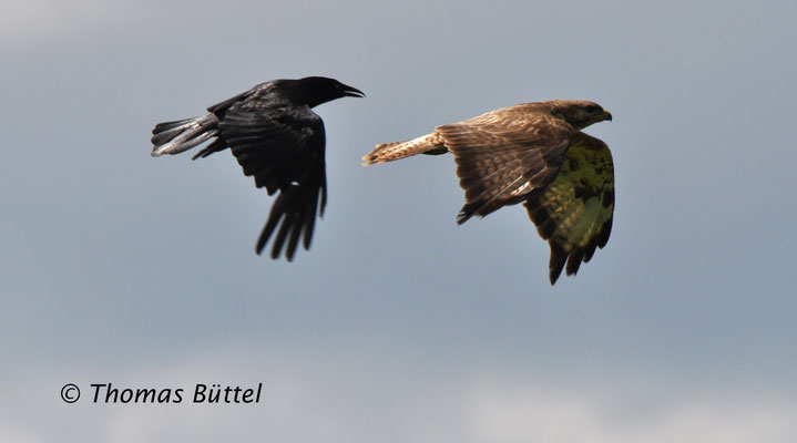 Carrion Crow and Common Buzzard