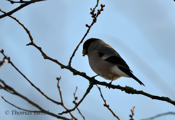 Northern Bullfinch