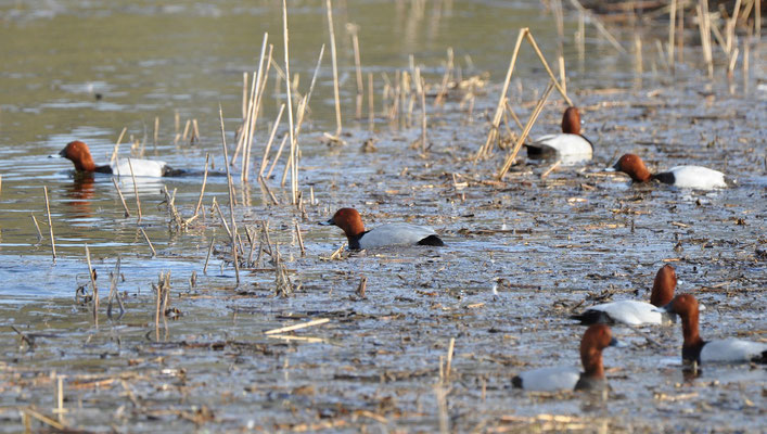Pochards - common breeder here