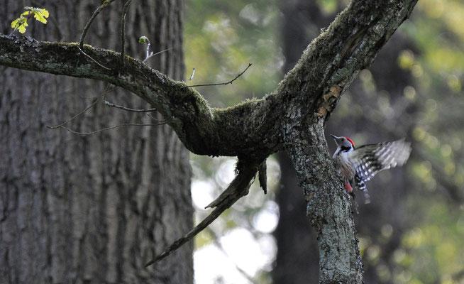 Mittelspecht - charakteristisch für die älteren Teile des Waldes