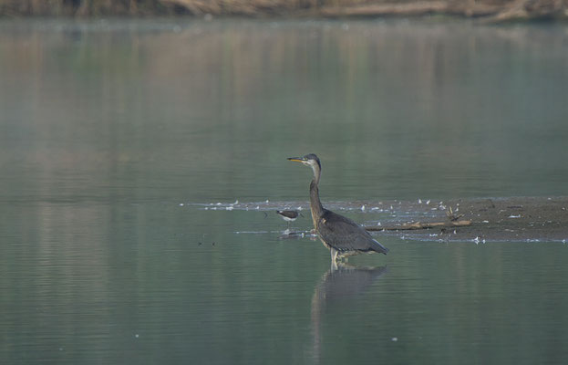 Grey Heron (r.) and Green Sandpiper (l.)