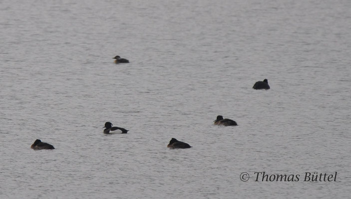 Common Scoter in the background, Tufted Ducks in the foreground