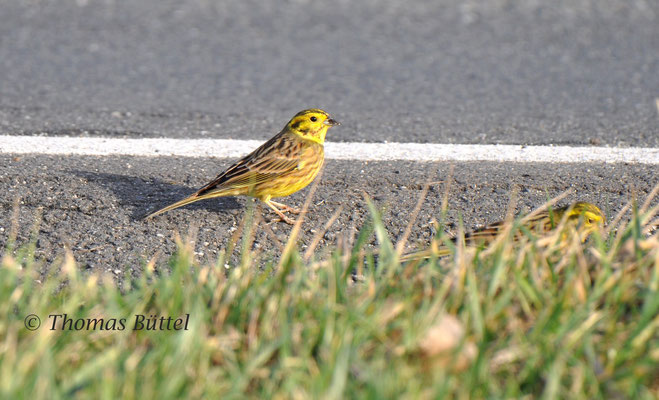 Yellowhammer with Pine Bunting bits?