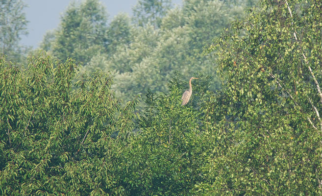 record shot of the Purple Heron