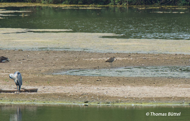 record shot of the Eurasian Curlew