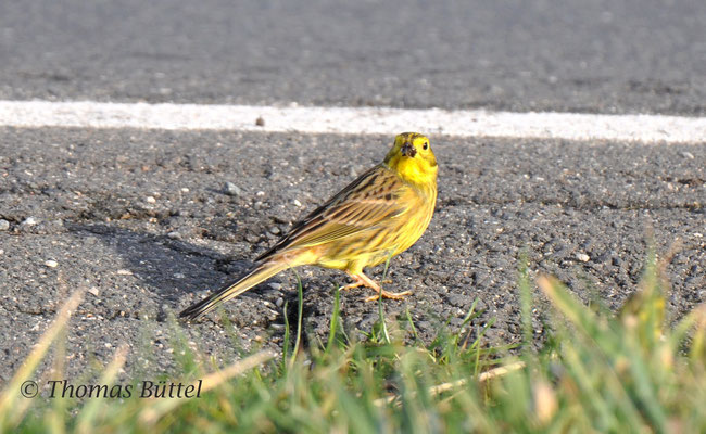 """normal"" Yellowhammer"