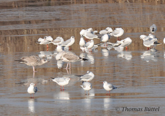 Presumed 1st winter Herring Gull (left), presumed 1st winter Caspian Gull (right) and lots of Black-headed Gulls