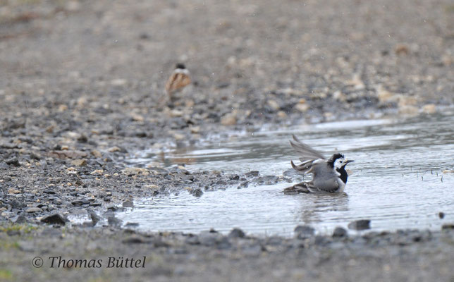 White Wagtail (front) and male Reed Bunting (behind)