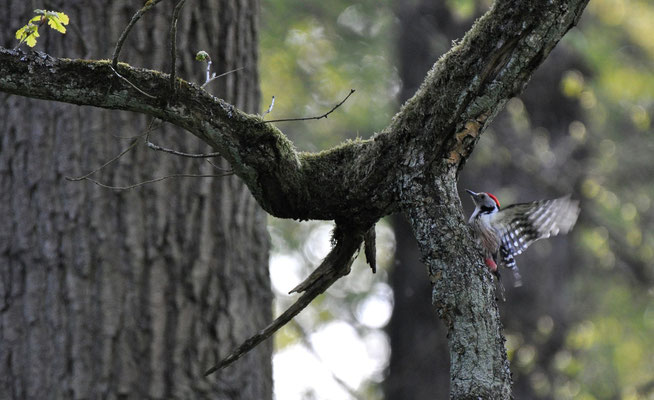 Middle Spotted Woodpecker - typical for decidious woods