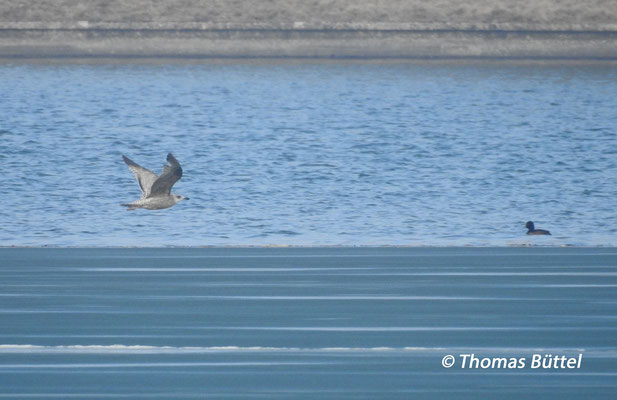 Herring Gull in the first winter