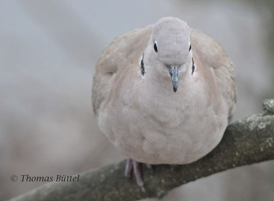 Collared Dove in the garden