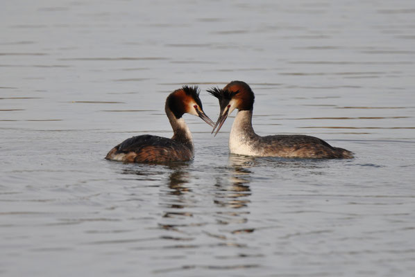 Great Crested Grebe - common breeder