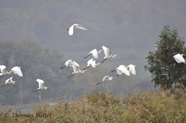 Great White Herons