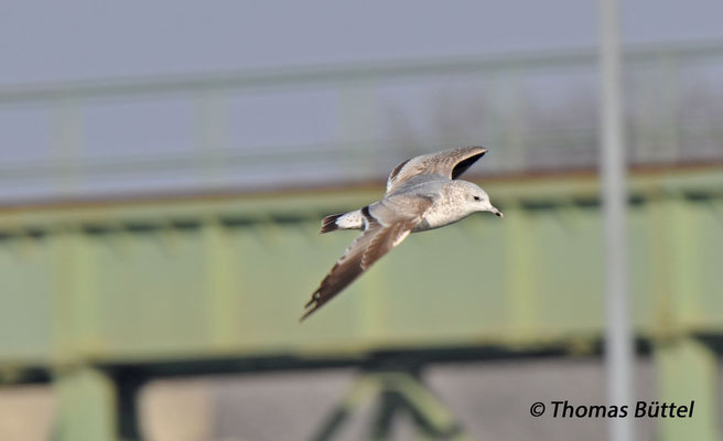 Common Gull (1st winter)
