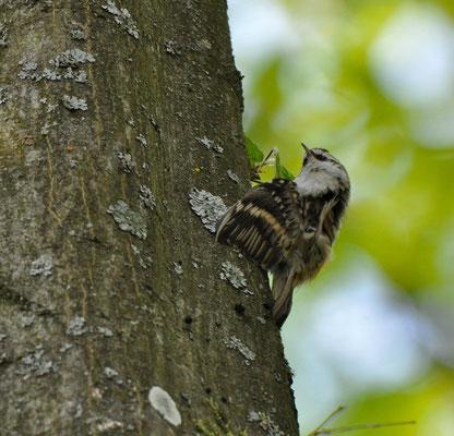 Waldbaumläufer