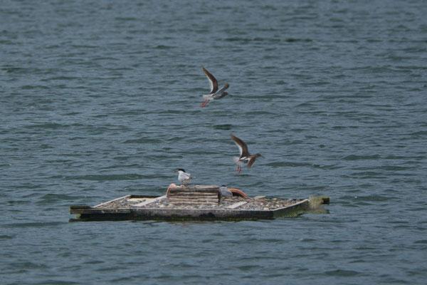 Flussseeschwalben (auf dem Floß), Rotschenkel (fliegend)
