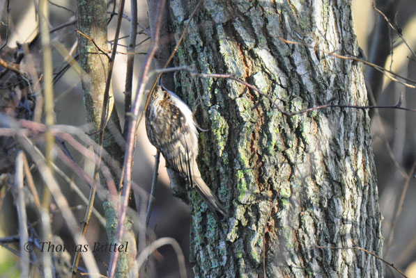 potential Northern Treecreeper