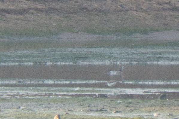 Odinshühnchen (hinten) und Flussuferläufer (vorne)