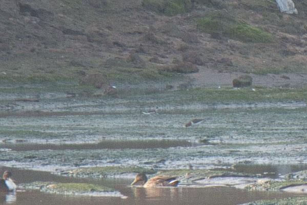 Odinshühnchen (hinten), Flussuferläufer (davor) und Stockenten (im Vordergrund)