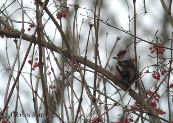 Hawfinch - digiscoped with Swarovski ATS 65 HD (handheld because I have no fitting adapter yet)