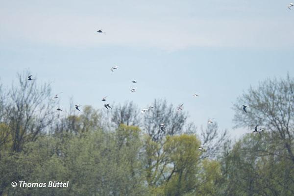 Trauer- und Weißflügel-Seeschwalben