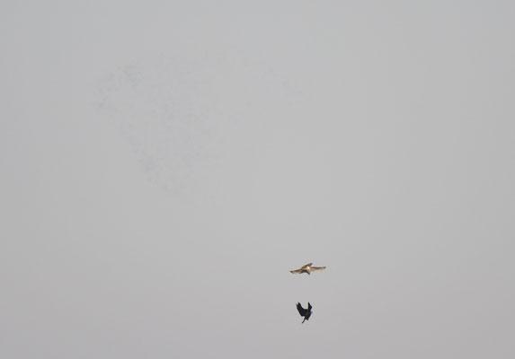 Sperber und Rabenkrähe vor einem großen Ringeltauben-Trupp