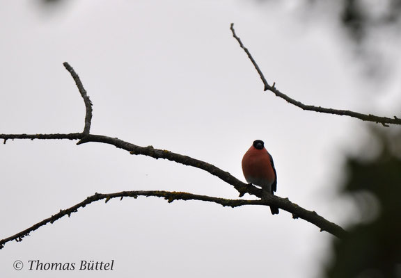 male Bullfinch (presumed nominate pyrrhula)