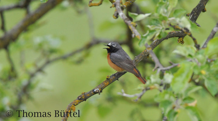 Common Redstart - typical breeder