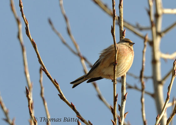 Linnet (male)