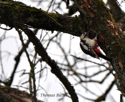Great Spotted Woodpecker with brownish primaries