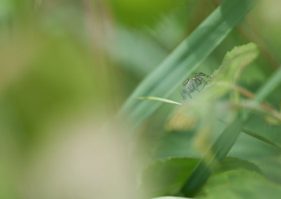 Identification en cours ( Salticidae )