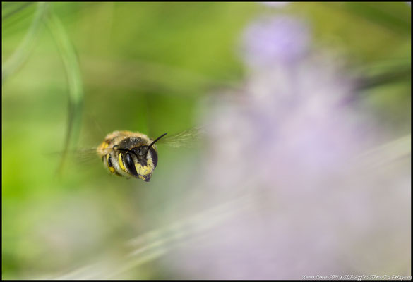 Anthidie cotonnière ( Megachilidae / abeille solitaire )