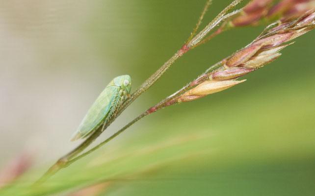 Empoasca decipiens ( famille des cicadelles, sans certitude )