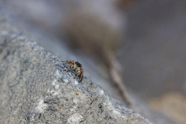 Sitticus penicillatus ( Salticidae ), sans certitudes