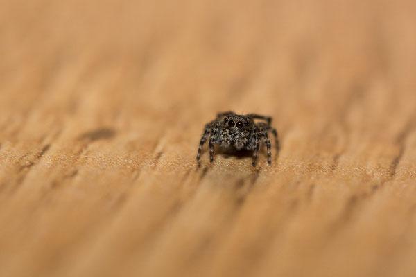 Pseudeuophrys Lanigera femelle ( Salticidae )