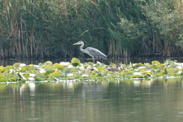 Graureiher, Vogelwelt der Teiche in den Thürer Wiesen