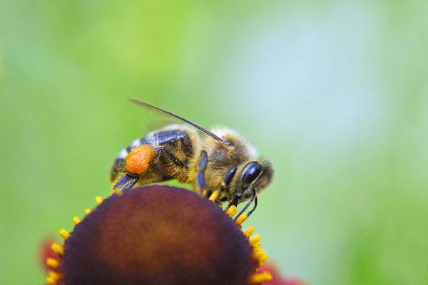Honigbiene an Sonnenblume
