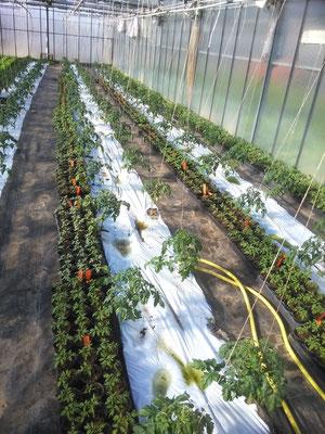 Repiquage des plans de tomates (avril 2016)