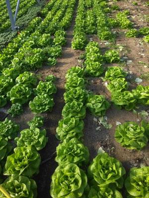 Les premières salades (avril 2016)