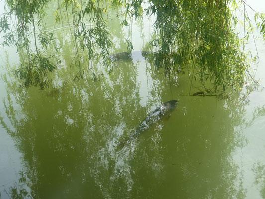 Carpe Étang de pêche
