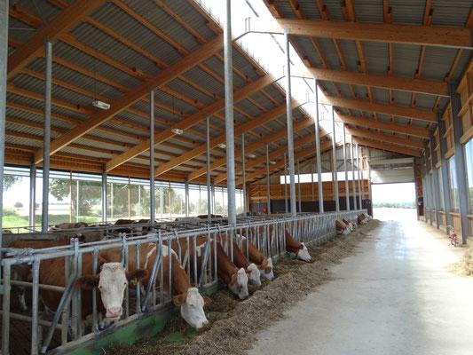 unsere Milchkühe im neuen Stall