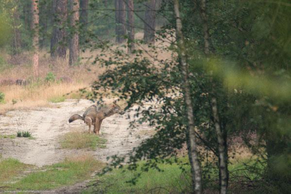 Sachsen 02.09.2016, Wolf