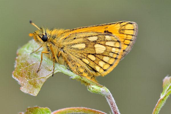 Kreis Oranienburg, Brandenburg 22.05.2015, Carterocephalus silvicolus