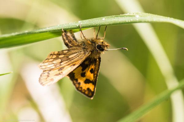 Kreis Oranienburg, 23.05.2016, C.silvicolus