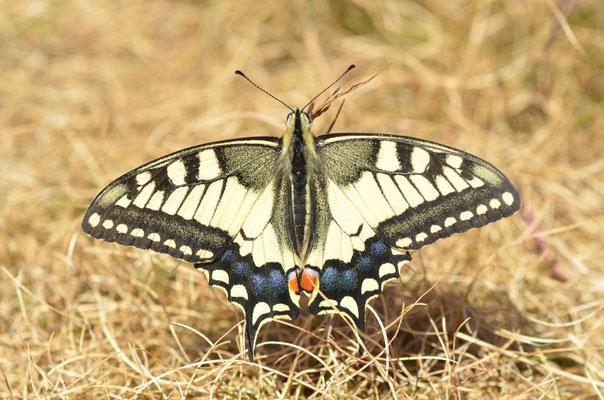 Belchen, B-W 21.08.2013, Papilio machaon